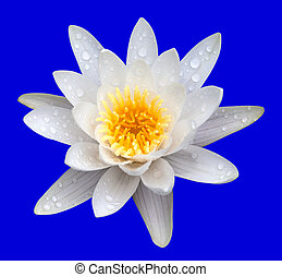 Victoria amazonica, water lilie. Isolated on blue...