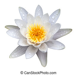 Victoria amazonica, water lilie. Isolated on white...