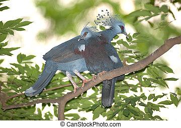 Victoria Crowned bird (Goura victoria), head profile on tree...