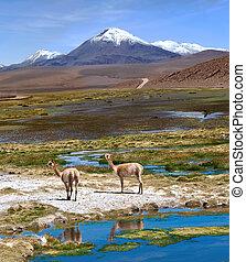 Vicuñas graze in the Atacama, Volcanoes Licancabur and Juriques