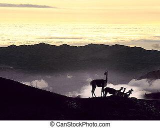 Vicugna. Cordillera Occidental, Andes, central Ecuador, near...