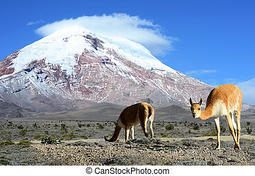 Vicugna. stratovolcano Chimborazo, Cordillera Occidental, ...
