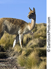 Vicuna in the scrubland of the Atacama Desert -Chile - A ...