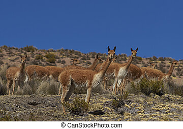 Vicuna on the altiplano - Group of vicuna (Vicugna vicugna)...