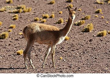 Vicuna (Vicugna vicugna)  andean animal