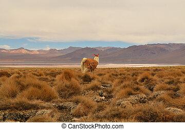 vicuna/lama, w, andy, boliwia