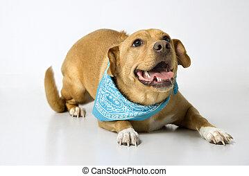 vidám, fárasztó, kutya, bandana.