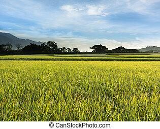 vidéki, táj, közül, hántolatlan rizs, tanya