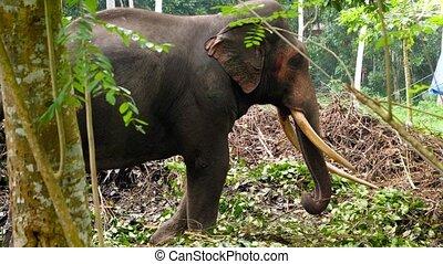 vidéo, éléphant, jungle, debout, 4k, forêt, solitaire, vieux...