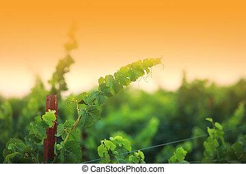 vid, plantas, primer plano, superficial, dof., valle de napa, california, usa.