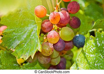 vid, primer plano, uvas, ramo