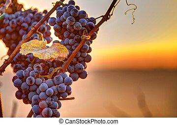 vid, rama, uvas, vino