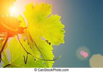 vid, sol, hojas, por, brillar