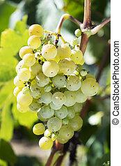 vid, uvas, ramo