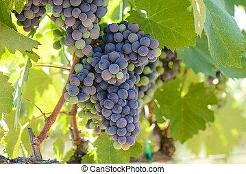 vid, uvas rojas, vino