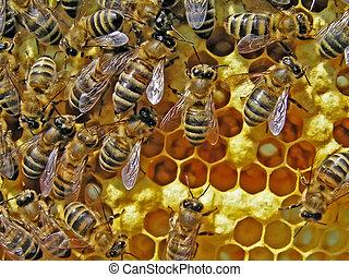 vida, bees., reproducción