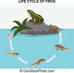vida, ilustração, rã, ciclo