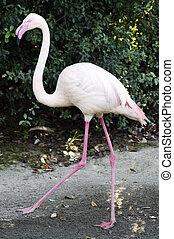 vida selvagem animais, -, flamingo