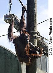 vida selvagem animais, -, orangotango
