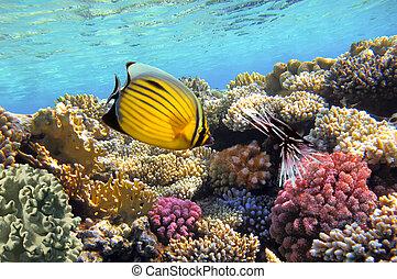 vida subaquática, hard-coral, recife