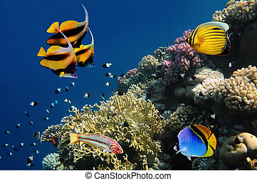 vida submarina, de, un, hard-coral, arrecife, mar rojo, egipto