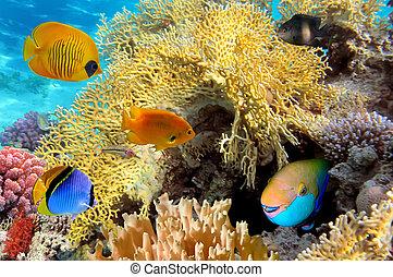 vida submarina, de, un, hard-coral, arrecife, mar rojo,...