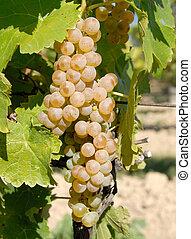 Vidal White Wine Grapes on the Vine