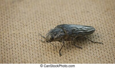 Big click beetle on floor - Video 1080p - Big click beetle...