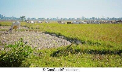 Cows graze on the stubble fields. Myanmar - Video 1080p - ...