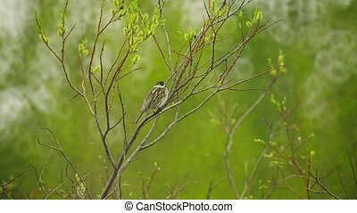 Forest sparrow sitting on a branch
