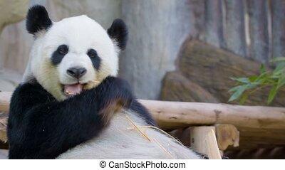 Funny panda eating bamboo - Video 1080p - Funny panda eating...