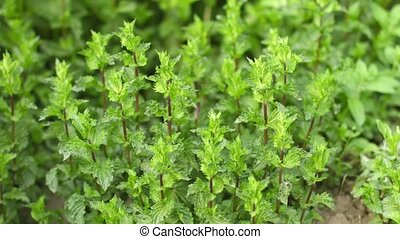Growing mint in the garden