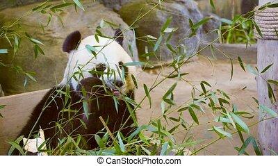 Panda eating bamboo leaves - Video 1080p - Panda eating...