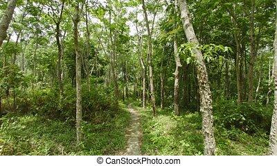 Path through the plantation of rubber trees. Thailand, Phuket island. POV