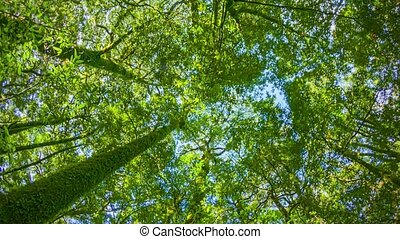Tropical rainforest. Tops of the trees. Looking up to the...