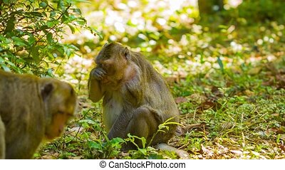 Wild monkeys - macaque in the forests of Cambodia