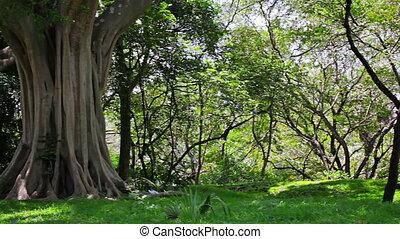 big tree in the park. Sri Lanka