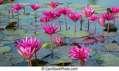 Purple water lilies in garden ponds