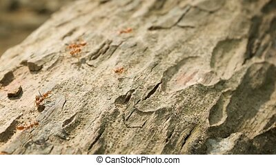 Tropical red weaver ants on the bark close up. Oecophylla -...