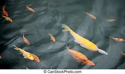 video - Decorative fish - carp - 1920x1080 video -...