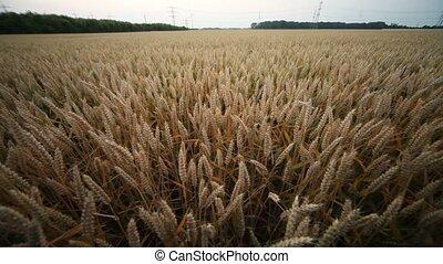 Grainfield - video footage of a Grainfield in summer,...