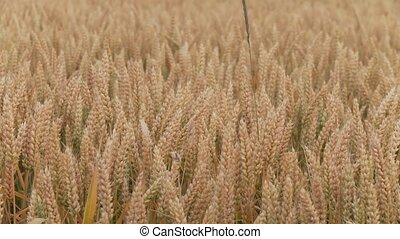 Grainfield - video footage of a Grainfield in summer,...