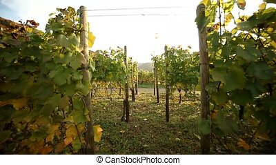 Vineyard - video footage of a Vineyard in germany at the...