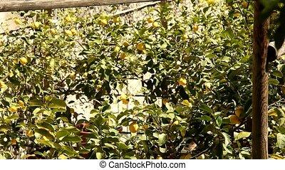 lemon trees - video footage of lemon trees