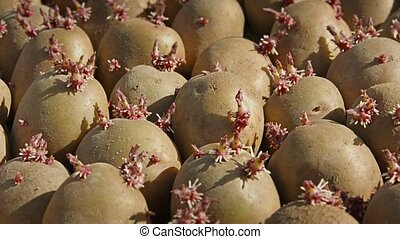 Prepared for planting potato seeds. Tubers with sprouts close up