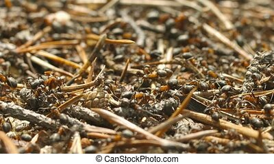 Red hairy wood ants (Formica lugubris) on the surface of the anthill