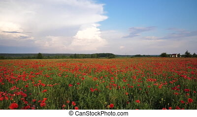 Video motion field with green grass and red poppies against the sunset sky. Beautiful field red poppies with selective focus. Glade of red poppies. Camera wide angle lens.