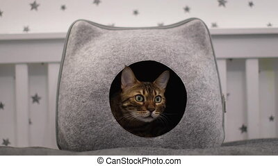 Video of a domestic Bengal cat sitting in a cat house. High quality FullHD footage