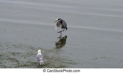 Video of a heron preening in water with a seagull next to it...