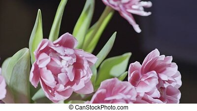 Video of close-up tulips are pink terry in a bouquet with...